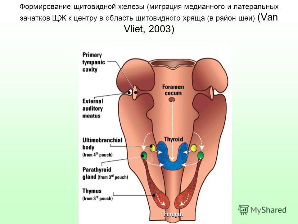 Формирование щитовидной железы (миграция медианного и латеральных зачатков ЩЖ к центру в область щитовидного хряща (в район шеи) (Van Vliet, 2003)