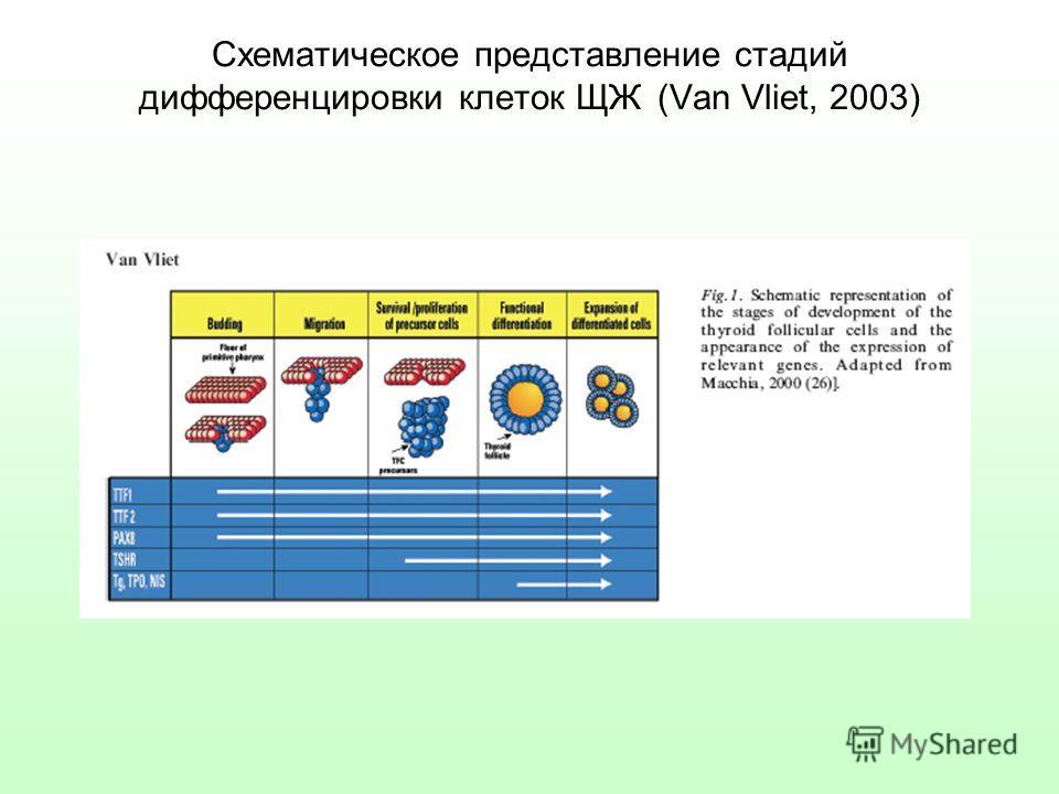 Схематическое представление стадий дифференцировки клеток ЩЖ (Van Vliet, 2003)