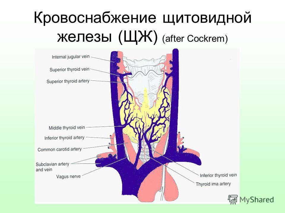 Кровоснабжение щитовидной железы (ЩЖ) (after Cockrem)