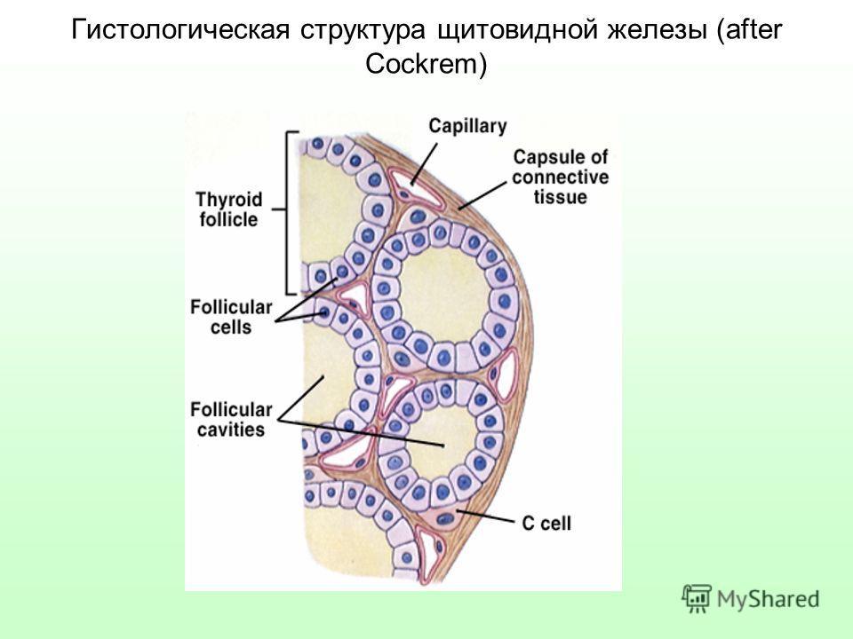 Гистологическая структура щитовидной железы (after Cockrem)