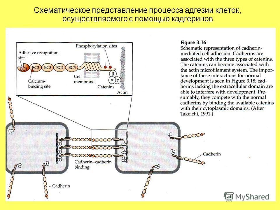 Схематическое представление процесса адгезии клеток, осуществляемого с помощью кадгеринов