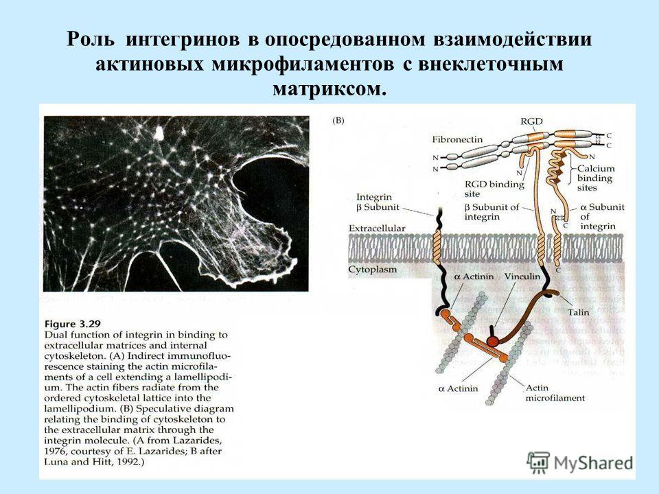 Роль интегринов в опосредованном взаимодействии актиновых микрофиламентов с внеклеточным матриксом.