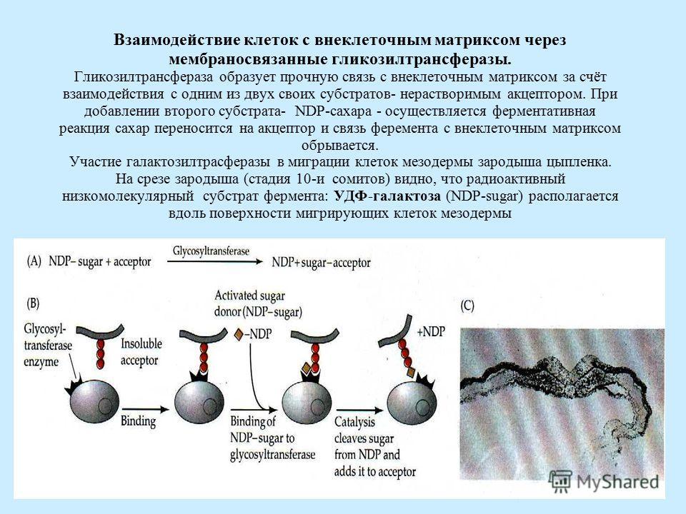 Взаимодействие клеток с внеклеточным матриксом через мембраносвязанные гликозилтрансферазы. Гликозилтрансфераза образует прочную связь с внеклеточным матриксом за счёт взаимодействия с одним из двух своих субстратов- нерастворимым акцептором. При доб