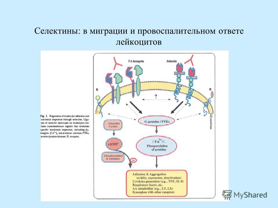 Селектины: в миграции и провоспалительном ответе лейкоцитов
