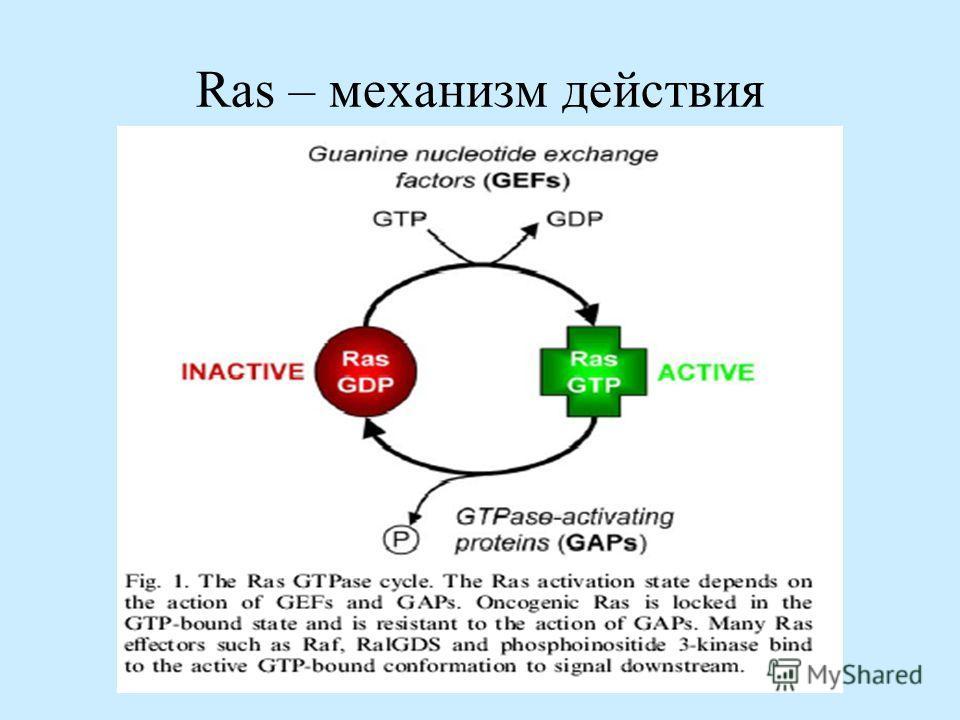 Ras – механизм действия
