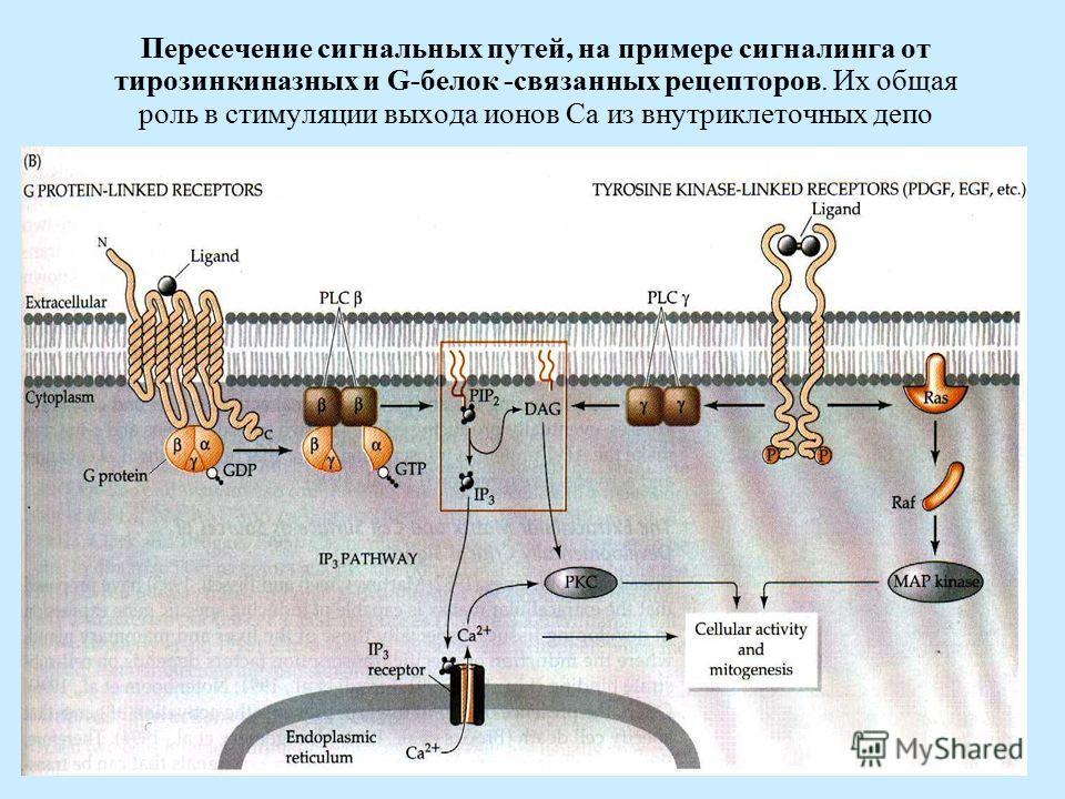 Пересечение сигнальных путей, на примере сигналинга от тирозинкиназных и G-белок -связанных рецепторов. Их общая роль в стимуляции выхода ионов Ca из внутриклеточных депо