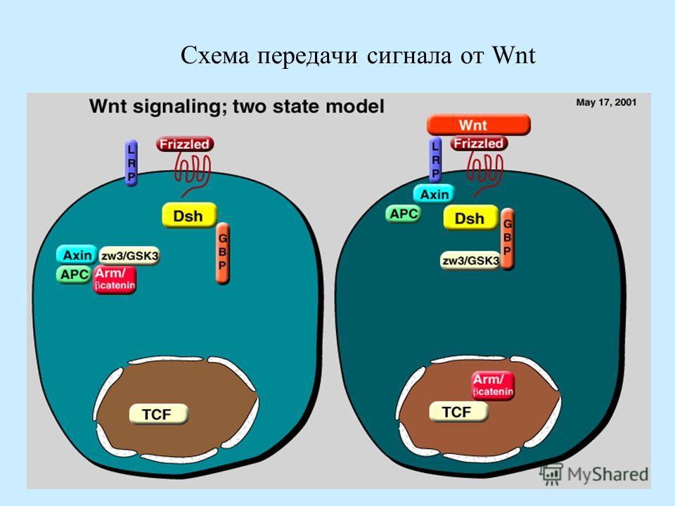 Схема передачи сигнала от Wnt