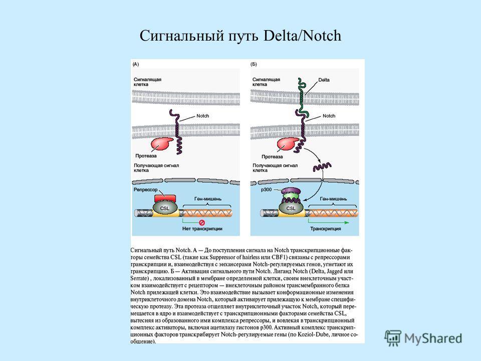 Сигнальный путь Delta/Notch