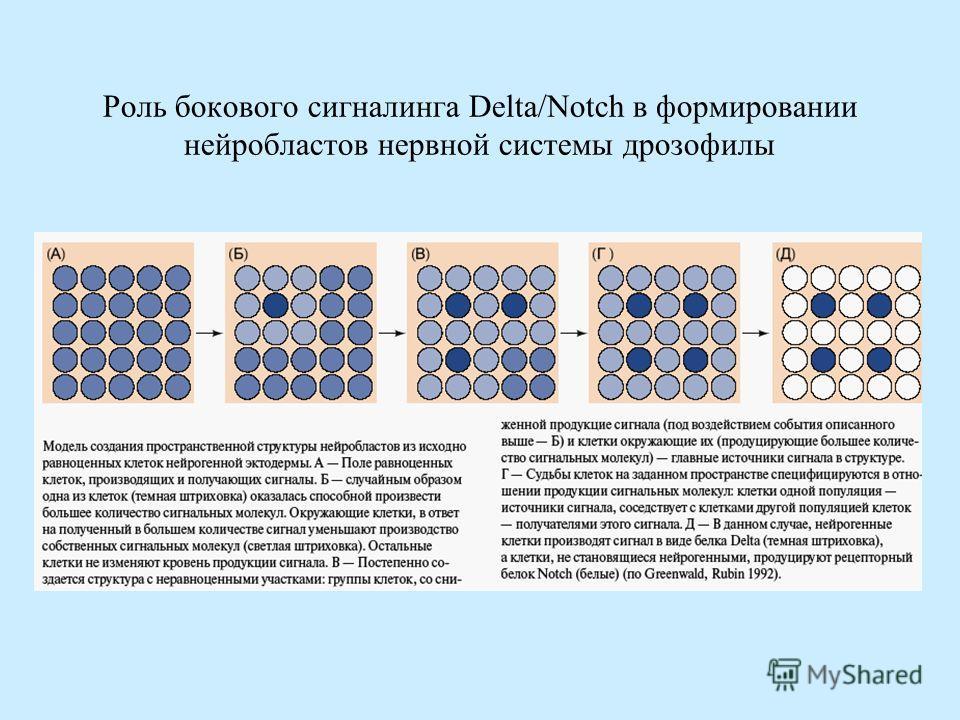 Роль бокового сигналинга Delta/Notch в формировании нейробластов нервной системы дрозофилы