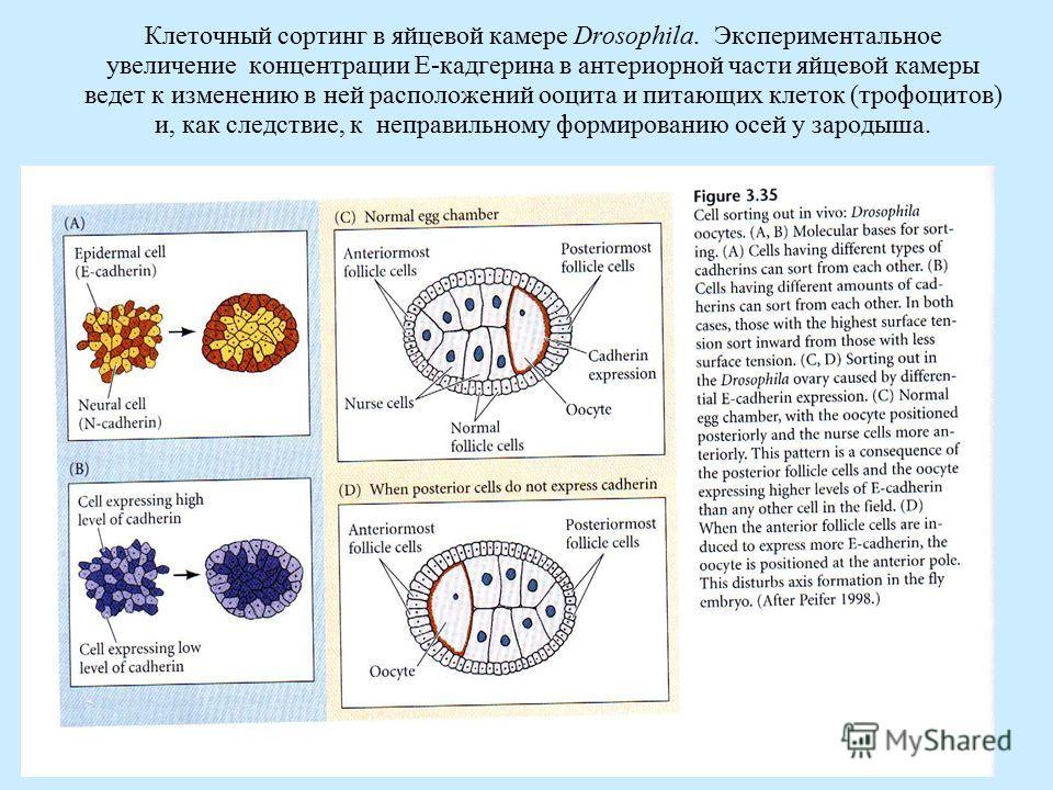 Клеточный сортинг в яйцевой камере Drosophila. Экспериментальное увеличение концентрации E-кадгерина в антериорной части яйцевой камеры ведет к изменению в ней расположений ооцита и питающих клеток (трофоцитов) и, как следствие, к неправильному форми