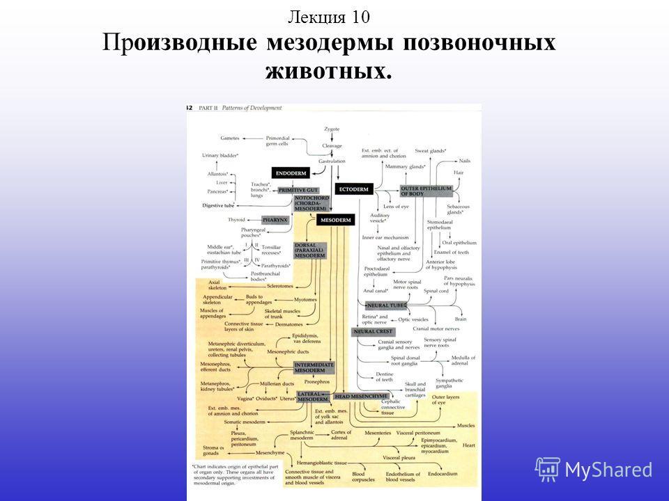 Лекция 10 Производные мезодермы позвоночных животных.