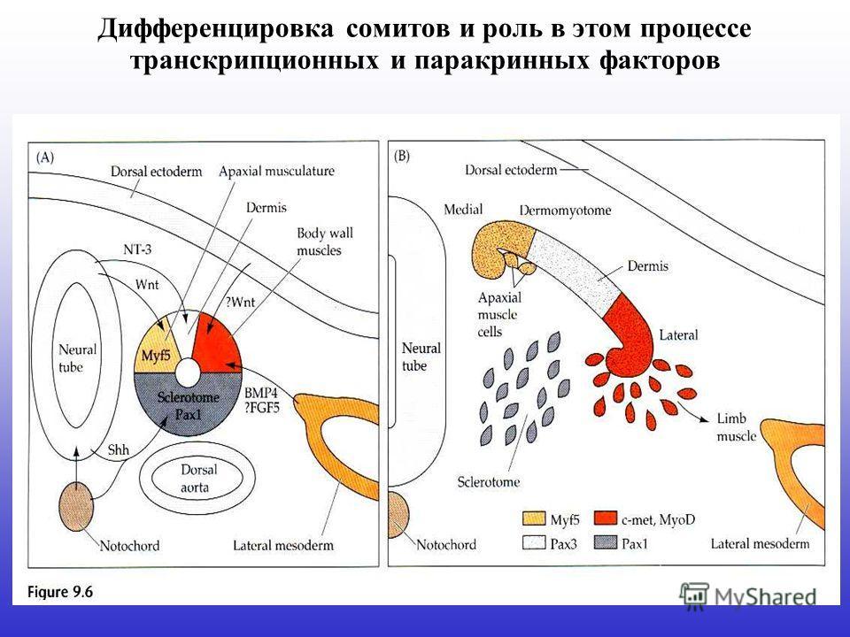 Дифференцировка сомитов и роль в этом процессе транскрипционных и паракринных факторов