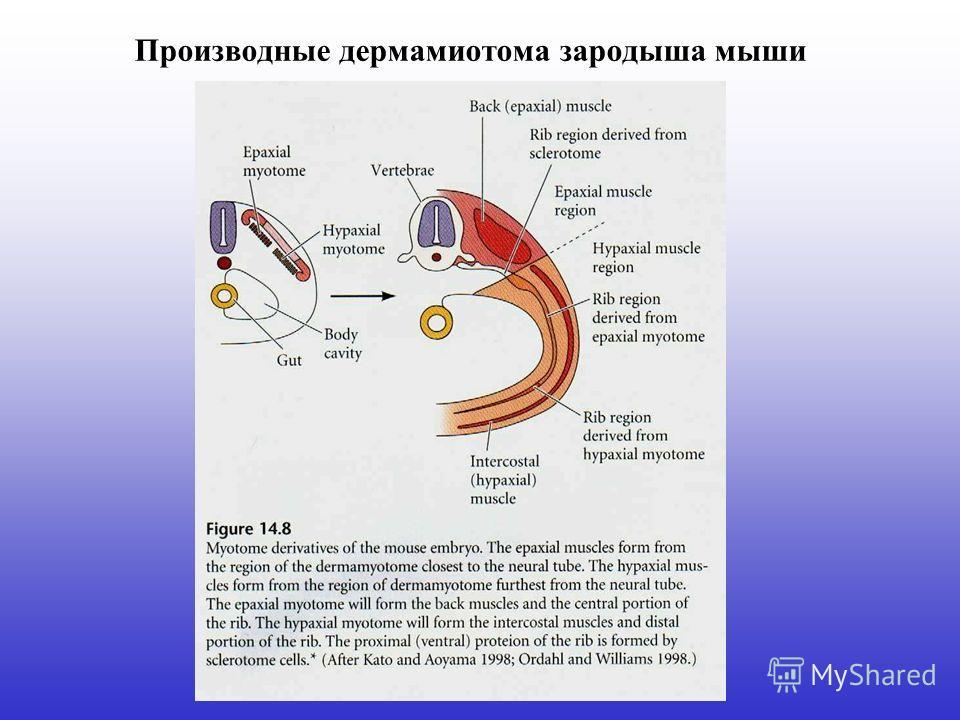 Производные дермамиотома зародыша мыши