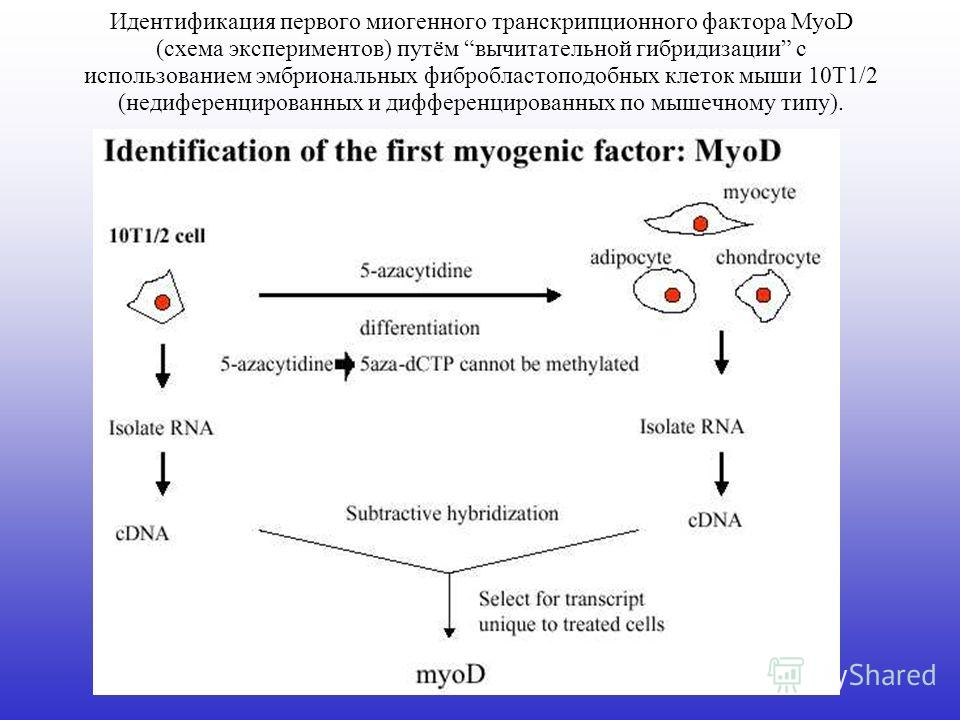 Идентификация первого миогенного транскрипционного фактора MyoD (схема экспериментов) путём вычитательной гибридизации с использованием эмбриональных фибробластоподобных клеток мыши 10T1/2 (недиференцированных и дифференцированных по мышечному типу).