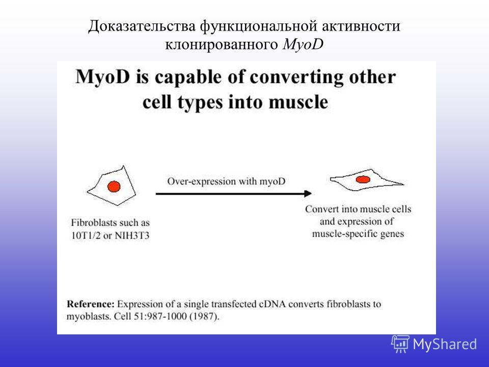 Доказательства функциональной активности клонированного MyoD