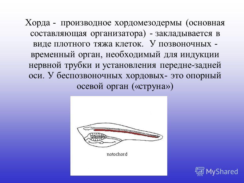 Хорда - производное хордомезодермы (основная составляющая организатора) - закладывается в виде плотного тяжа клеток. У позвоночных - временный орган, необходимый для индукции нервной трубки и установления передне-задней оси. У беспозвоночных хордовых