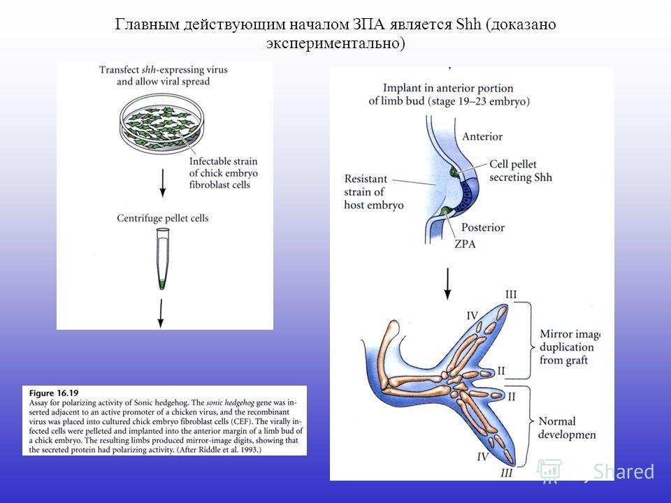 Главным действующим началом ЗПА является Shh (доказано экспериментально)