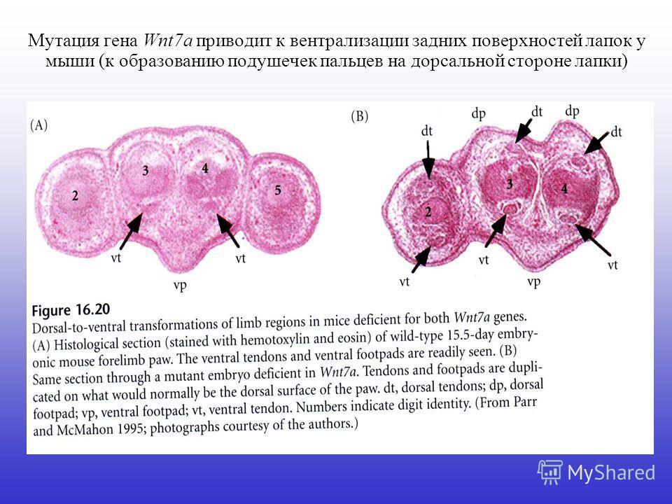 Мутация гена Wnt7a приводит к вентрализации задних поверхностей лапок у мыши (к образованию подушечек пальцев на дорсальной стороне лапки)