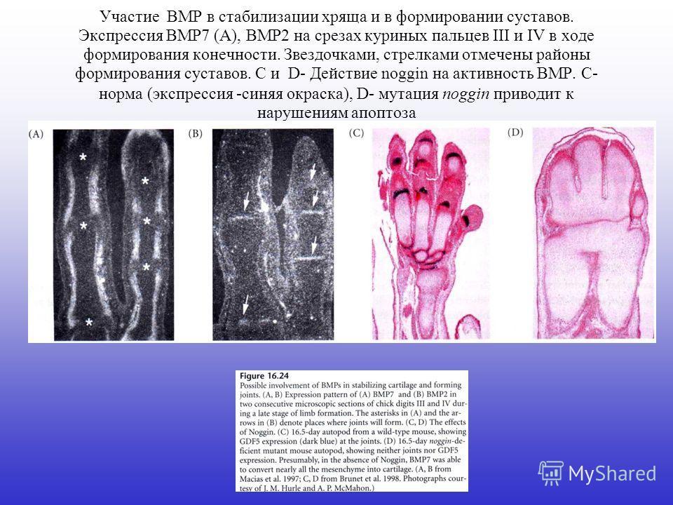 Участие BMP в стабилизации хряща и в формировании суставов. Экспрессия BMP7 (A), BMP2 на срезах куриных пальцев III и IV в ходе формирования конечности. Звездочками, стрелками отмечены районы формирования суставов. С и D- Действие noggin на активност