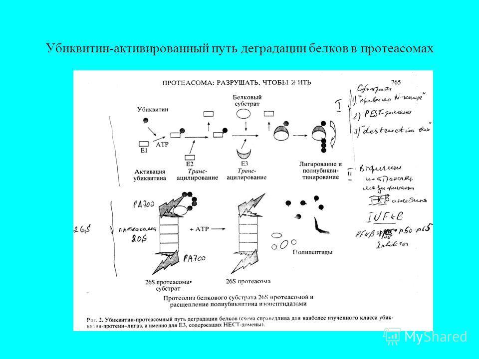 Убиквитин-активированный путь деградации белков в протеасомах