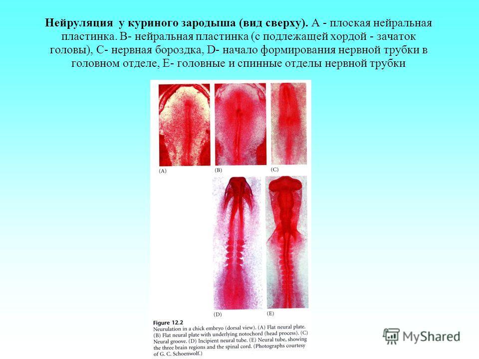 Нейруляция у куриного зародыша (вид сверху). А - плоская нейральная пластинка. B- нейральная пластинка (с подлежащей хордой - зачаток головы), С- нервная бороздка, D- начало формирования нервной трубки в головном отделе, Е- головные и спинные отделы