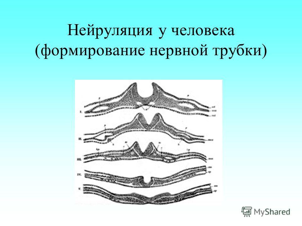 Нейруляция у человека (формирование нервной трубки)