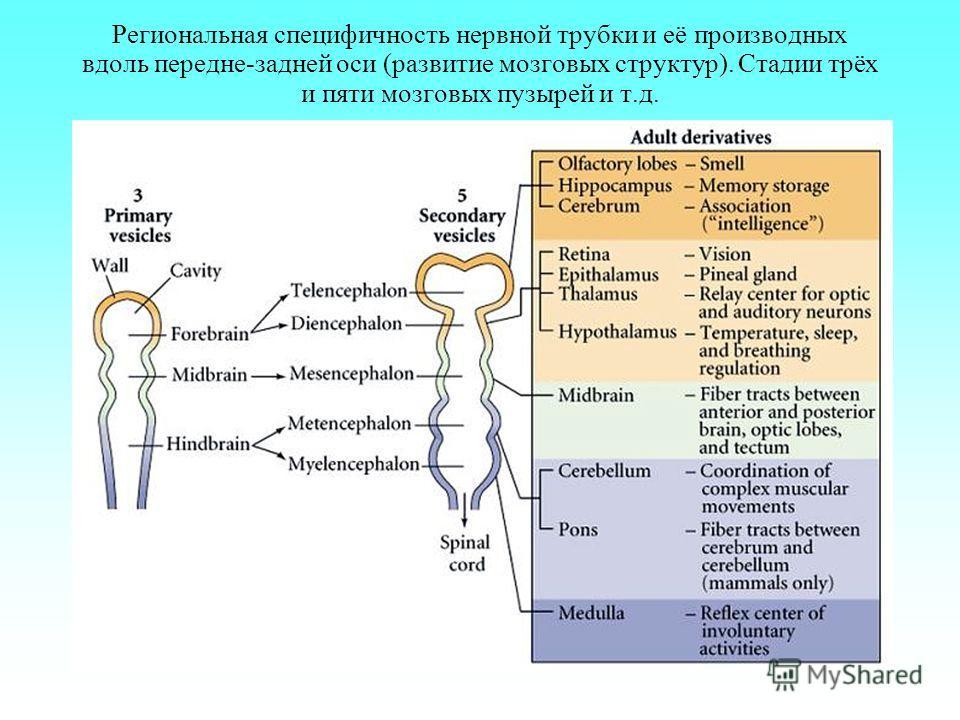 Региональная специфичность нервной трубки и её производных вдоль передне-задней оси (развитие мозговых структур). Стадии трёх и пяти мозговых пузырей и т.д.