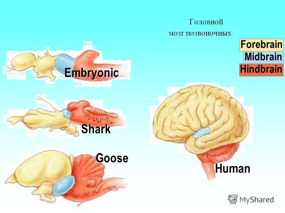 Головной мозг позвоночных Forebrain Midbrain Hindbrain Embryonic Shark Goose Human
