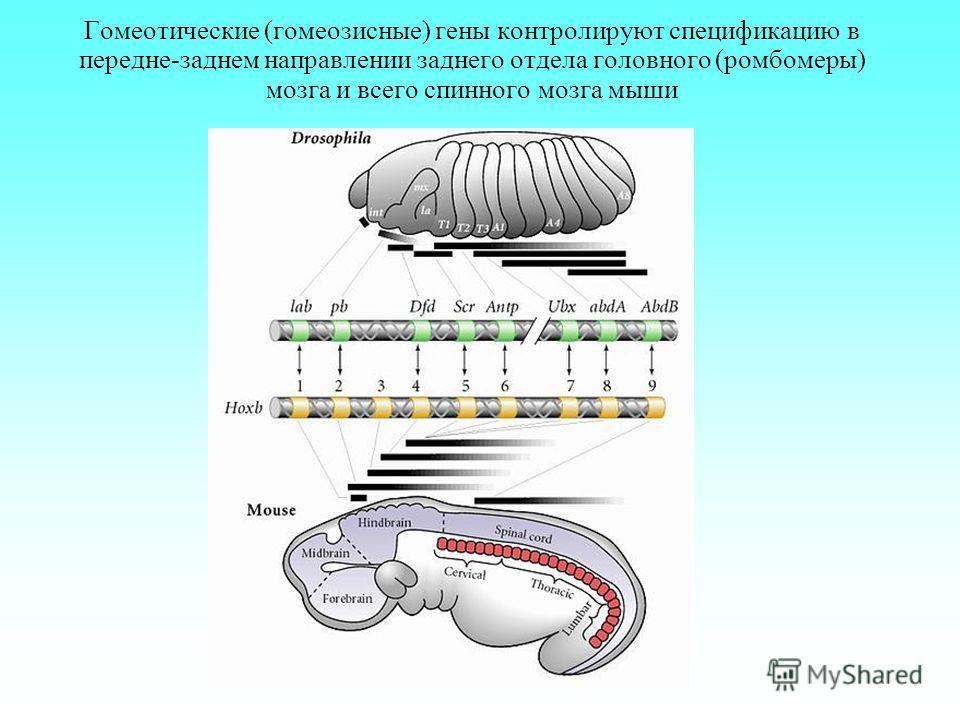 Гомеотические (гомеозисные) гены контролируют спецификацию в передне-заднем направлении заднего отдела головного (ромбомеры) мозга и всего спинного мозга мыши