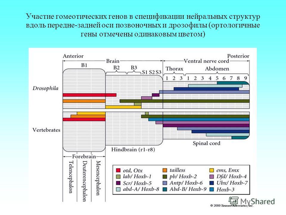 Участие гомеотических генов в спецификации нейральных структур вдоль передне-задней оси позвоночных и дрозофилы (ортологичные гены отмечены одинаковым цветом)