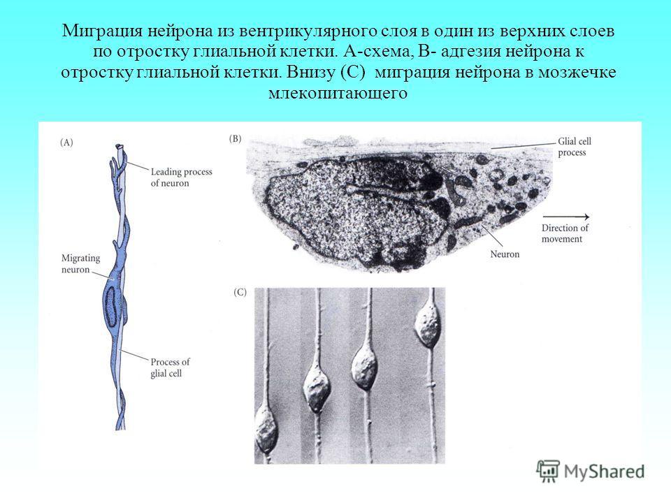 Миграция нейрона из вентрикулярного слоя в один из верхних слоев по отростку глиальной клетки. А-схема, B- адгезия нейрона к отростку глиальной клетки. Внизу (С) миграция нейрона в мозжечке млекопитающего