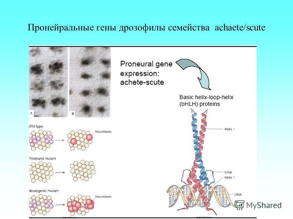 Пронейральные гены дрозофилы семейства achaete/scute