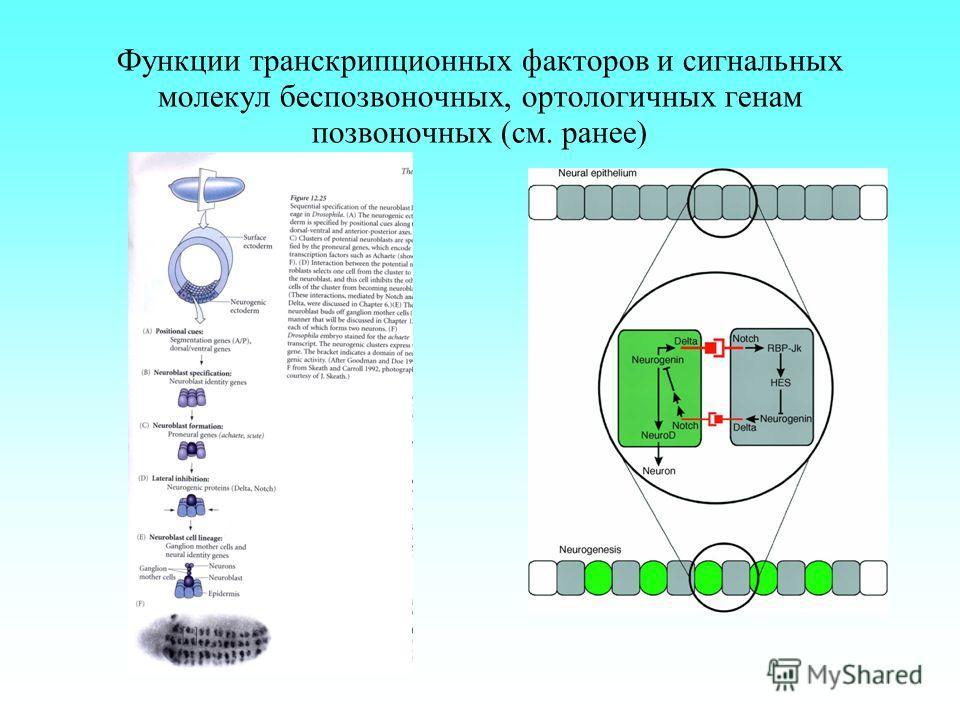 Функции транскрипционных факторов и сигнальных молекул беспозвоночных, ортологичных генам позвоночных (см. ранее)