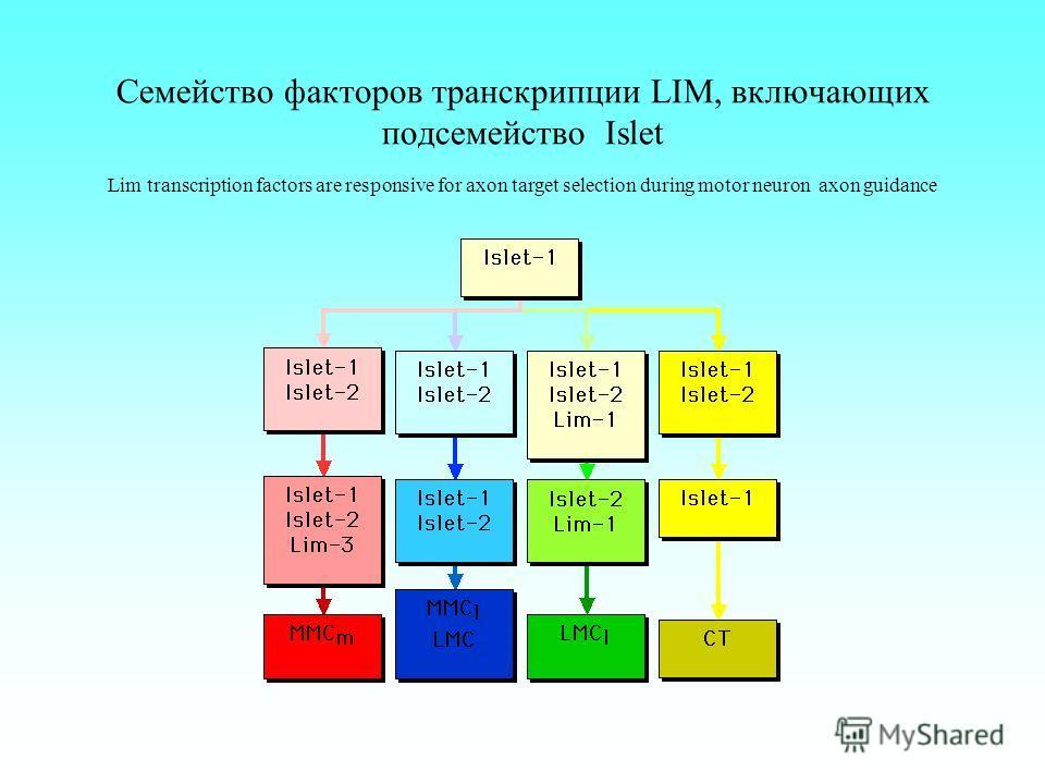 Семейство факторов транскрипции LIM, включающих подсемейство Islet Lim transcription factors are responsive for axon target selection during motor neuron axon guidance