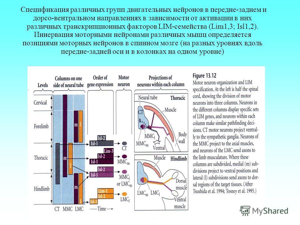 Спецификация различных групп двигательных нейронов в передне-заднем и дорсо-вентральном направлениях в зависимости от активации в них различных транскрипционных факторов LIM-семейства (Lim1,3; Isl1,2). Иннервация моторными нейронами различных мышц оп