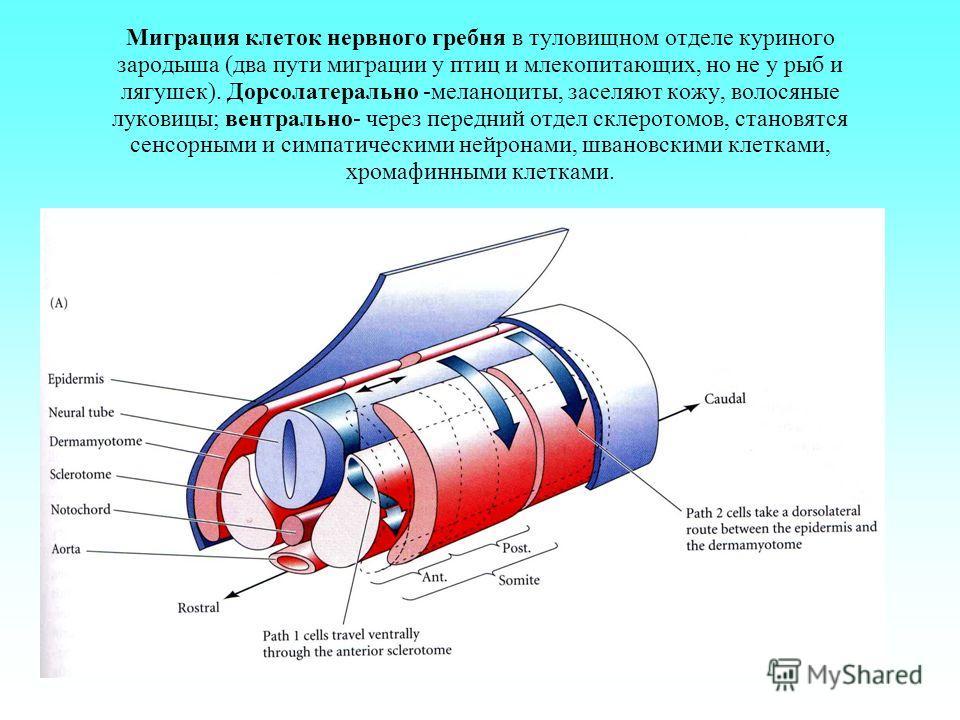 Миграция клеток нервного гребня в туловищном отделе куриного зародыша (два пути миграции у птиц и млекопитающих, но не у рыб и лягушек). Дорсолатерально -меланоциты, заселяют кожу, волосяные луковицы; вентрально- через передний отдел склеротомов, ста