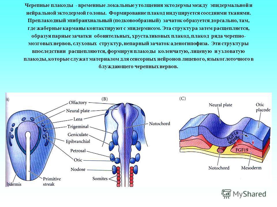 Черепные плакоды - временные локальные утолщения эктодермы между эпидермальной и нейральной эктодермой головы. Формирование плакод индуцируется соседними тканями. Преплакодный эпибранхиальный (подковообразный) зачаток образуется дорсально, там, где ж