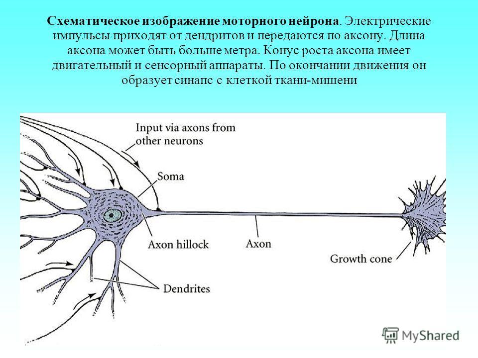 Схематическое изображение моторного нейрона. Электрические импульсы приходят от дендритов и передаются по аксону. Длина аксона может быть больше метра. Конус роста аксона имеет двигательный и сенсорный аппараты. По окончании движения он образует сина