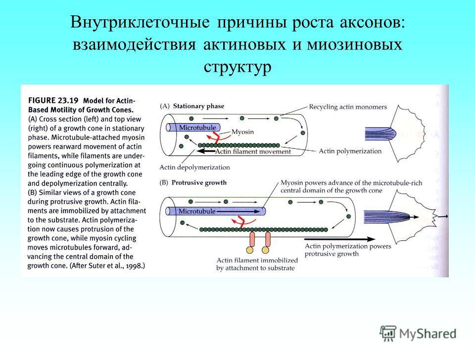 Внутриклеточные причины роста аксонов: взаимодействия актиновых и миозиновых структур