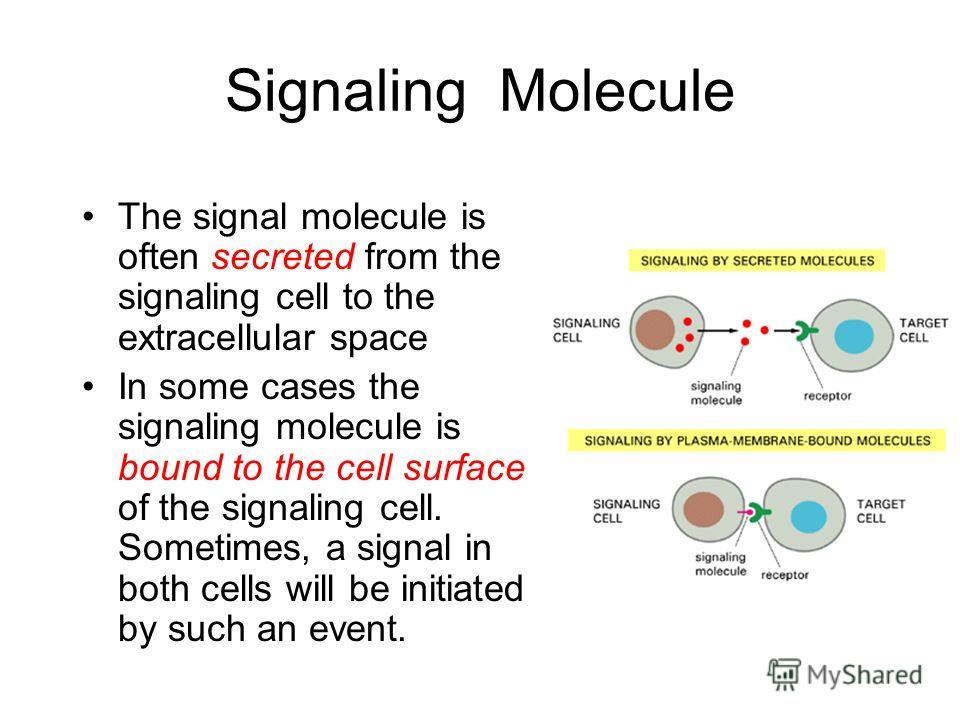 Signaling Molecule The signal molecule is often secreted from the signaling cell to the extracellular space In some cases the signaling molecule is bound to the cell surface of the signaling cell. Sometimes, a signal in both cells will be initiated b