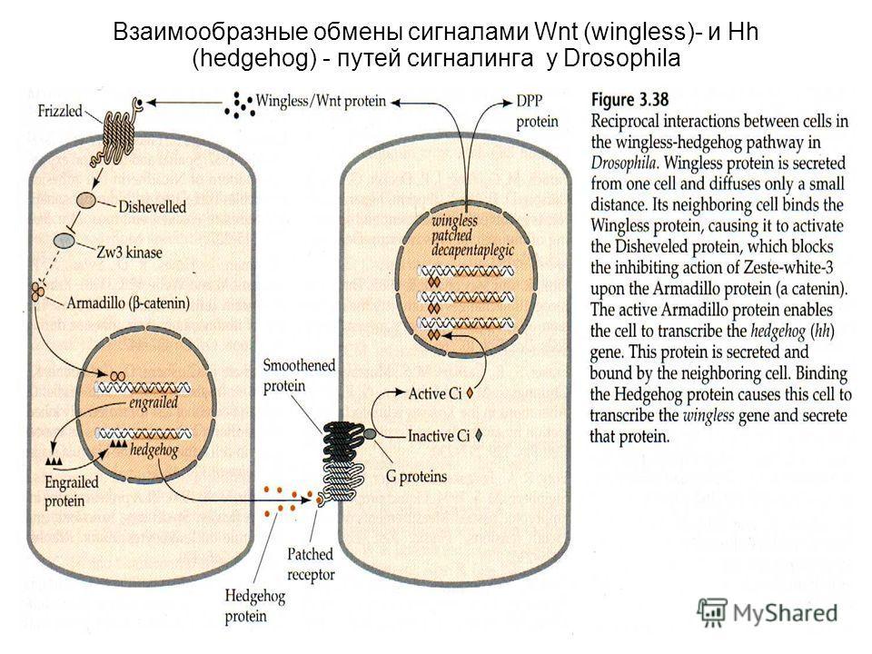Взаимообразные обмены сигналами Wnt (wingless)- и Hh (hedgehog) - путей сигналинга у Drosophila