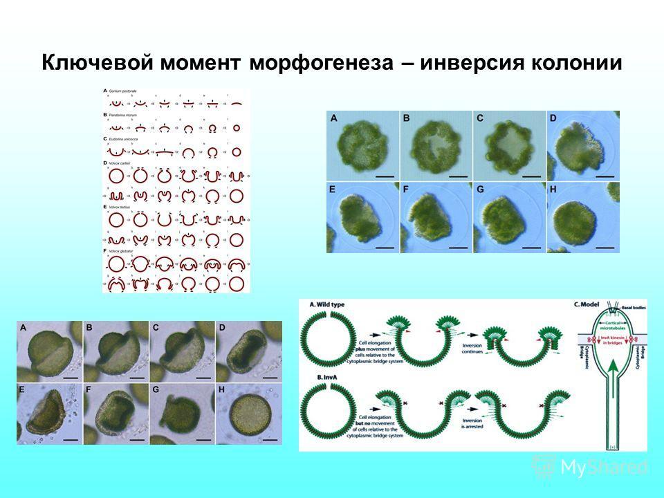 Ключевой момент морфогенеза – инверсия колонии