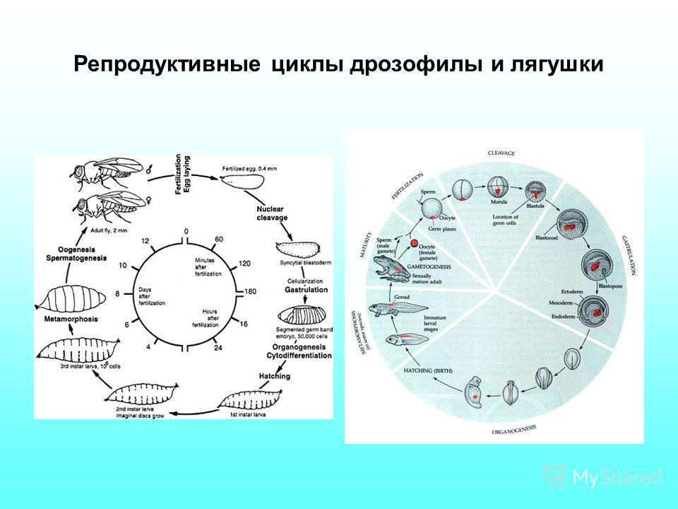 Репродуктивные циклы дрозофилы и лягушки