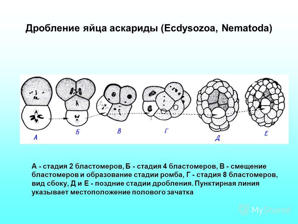 Дробление яйца аскариды (Ecdysozoa, Nematoda) А - стадия 2 бластомеров, Б - стадия 4 бластомеров, В - смещение бластомеров и образование стадии ромба, Г - стадия 8 бластомеров, вид сбоку, Д и Е - поздние стадии дробления. Пунктирная линия указывает м