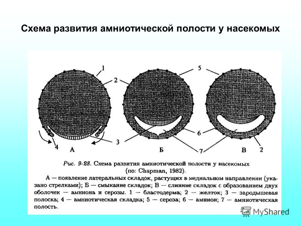 Схема развития амниотической полости у насекомых