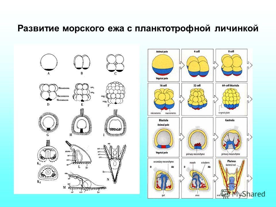 Развитие морского ежа с планктотрофной личинкой