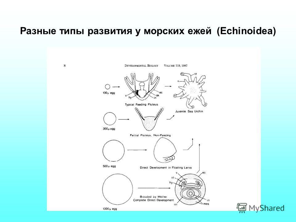Разные типы развития у морских ежей (Echinoidea)