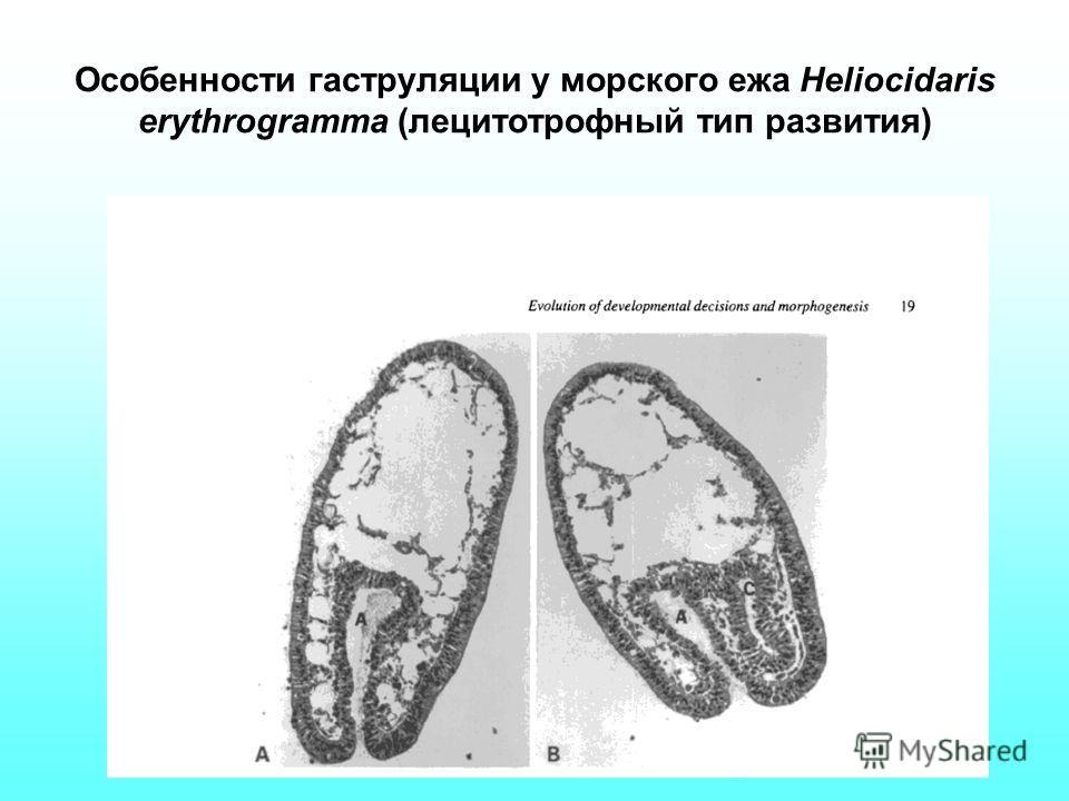 Особенности гаструляции у морского ежа Heliocidaris erythrogramma (лецитотрофный тип развития)