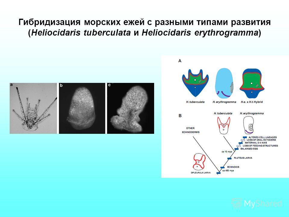 Гибридизация морских ежей с разными типами развития (Heliocidaris tuberculata и Heliocidaris erythrogramma)