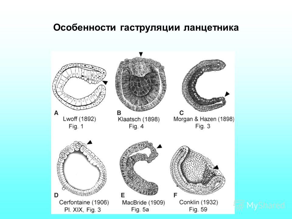 Особенности гаструляции ланцетника